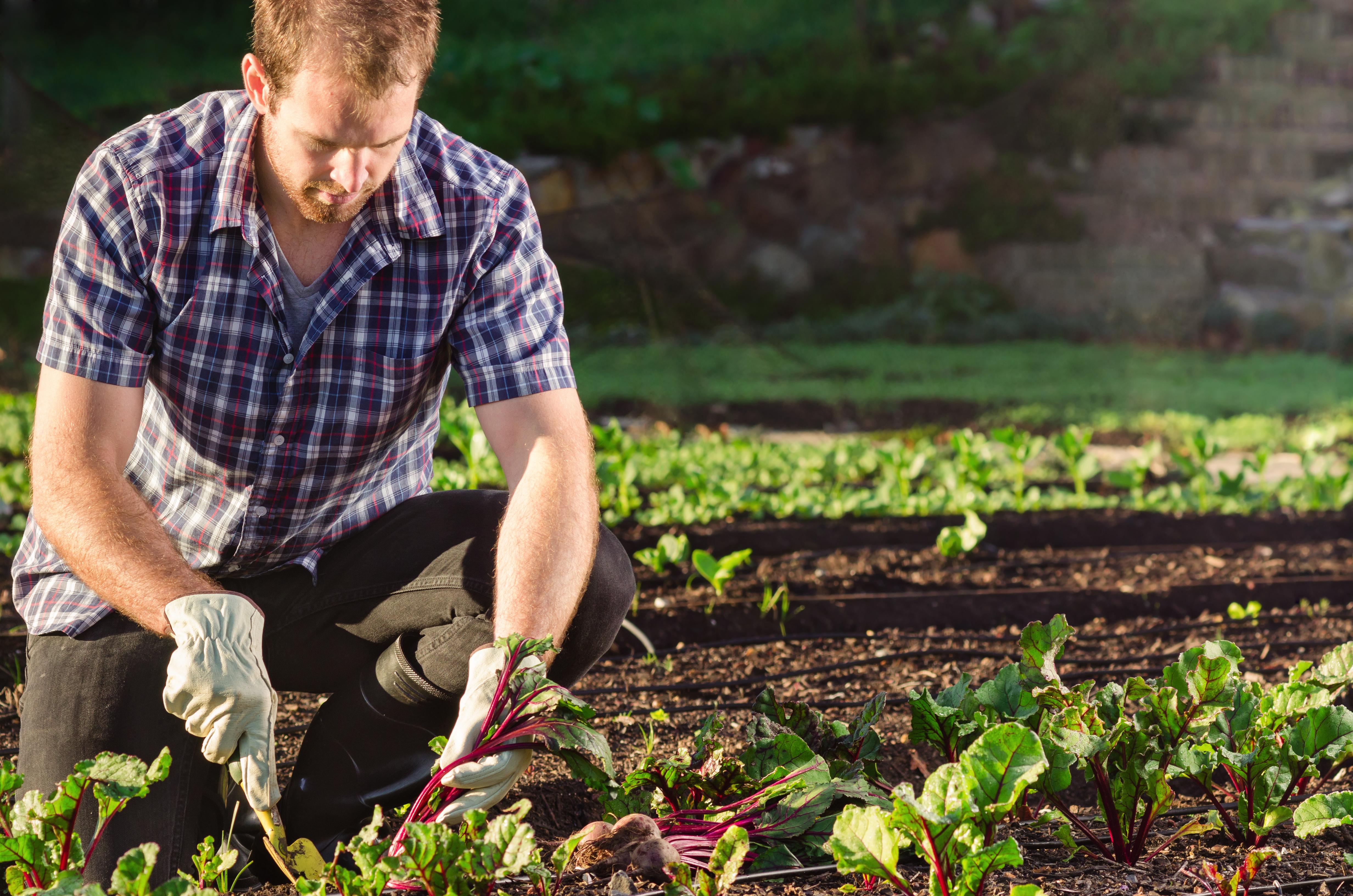 Vegetable garden pictures for kids - Farmer Harvesting Beetroot In The Vegetable Patch Garden